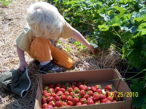 2010-05-25 Hans Strawberry Picking