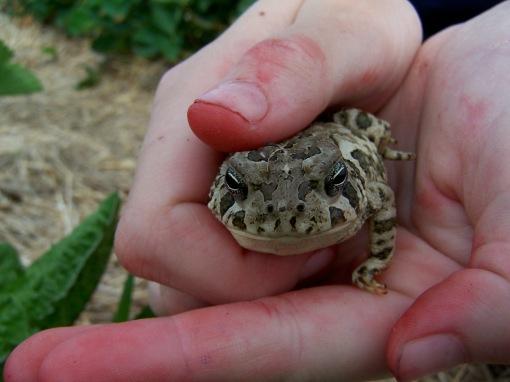 2012-05-12 Thies Farms Frog