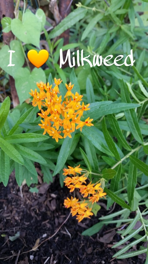 Milkweed = Baby Food for Monarch Butterflies
