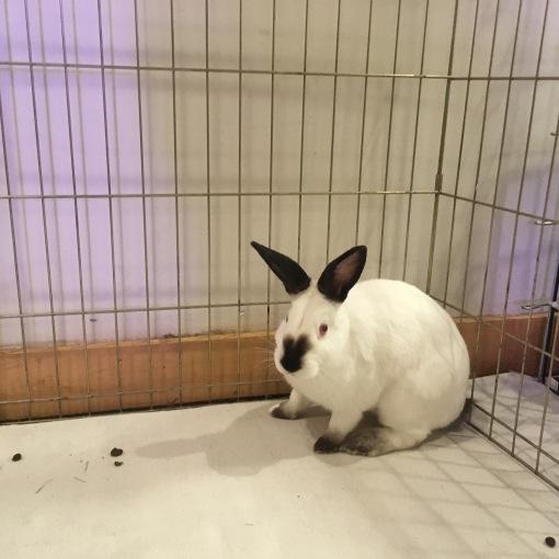 2018-06-03 Solo Siamese Bunny